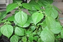 Prick leaf