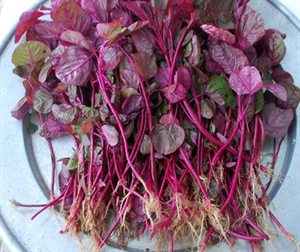 Picture of AMARANTHUS SEEDS